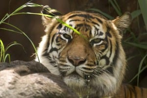 dreamstime_tiger